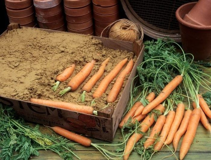 Благоприятные дни для уборки моркови с грядки по лунному календарю в 2020 году