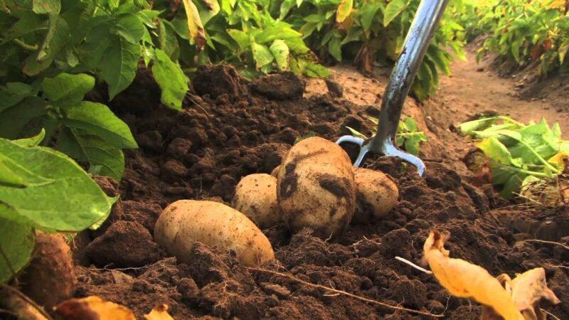 Чем удобрять землю весной перед посадкой картофеля