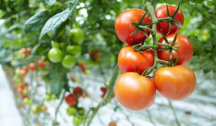 какие томаты урожайные для теплиц