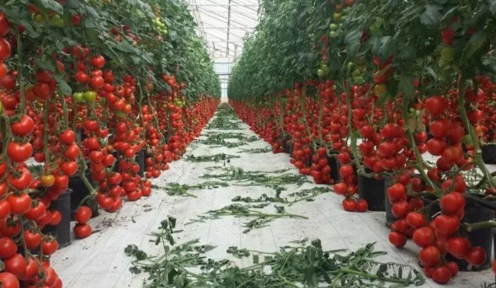 Какие сорта помидор самые урожайные для теплиц в Подмосковье